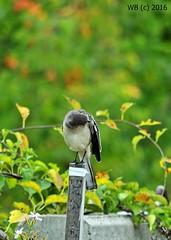 DSC_0748n wb (bwagnerfoto) Tags: szrke lgykaptirannusz sayornis phoebe weisbauchphoebetyrann eastern bird vogel madr animal outdoor usa nashua fauna nautre