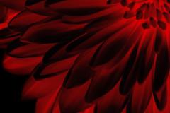 Red chrysanthemum (Vicky Vance) Tags: vickyvancephotography vickyvance red chrysanthemum redchrysanthemum flower nature naturephotography black blackbackground redandblack redlight light today photooftheday flickrtoday petals garden colors colours nikonphotography nikon redflower closeup november november2016 2016 autumn2016 autumn yahoo:yourpictures=flowers vassilikiprokopiou βασιλικήπροκοπίου prokopiou vp vassilikiprokopiouphotography
