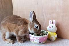 Ichigo san 462 (mensore) Tags:  rabbit bunny netherlanddwarf brown cute pet family ichigo