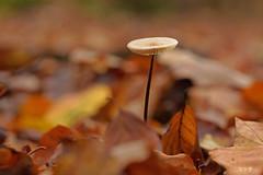 tiny mushroom (Lutz Koch) Tags: pilz mushroom laub leaves foliage waldboden forest soil bokeh elkaypics lutzkoch taunus idsteinerland