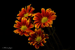 Orange Mums 1009 Copyrighted (Tjerger) Tags: nature beautiful beauty black blackbackground bloom bunch fall flora floral flower green group orange petals plant portrait stems wisconsin yellow mums natural