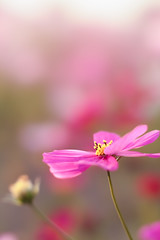 * (t*tomorrow) Tags: canon eos 5d2 85mm bbl flower コスモス 花 笠岡ベイファーム