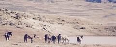 Like A Western... (A Wild Western Heart) Tags: mcculloughpeakswildhorses mustangs keepwildhorseswild wildhorses wild west likeawestern