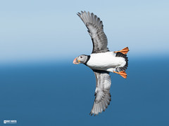 Puffin (Corey Hayes) Tags: flight nature coreyhayes photography speed wings fast art small nimble