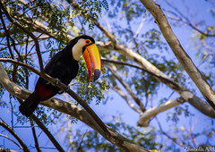 Ramphastos toco (azambolli) Tags: ave bird animal nature natureza brasil toucan tucano