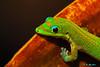 A Cautious Encounter 2 - Ka'napali, Maui (Barra1man) Tags: acautiousencounter2 golddustgecko gecko golddust green reptile lizard nature wildlife garden foliage eyecontact kanapali maui hawaii island tropical tropicallizard olympus olympusem1 iso640 lens300mm f6315000