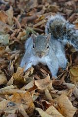 You shoot me? (Polya Photography) Tags: ngc nature beautiful squirel animal wild wildlife curious animaltheme