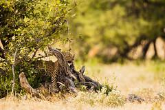 African Leopard (Hank Christensen) Tags: africa hunting natural wildlife outside predator nature nationalpark stalk camoflauge outdoor hiding africanleopard etoshanationalpark animals