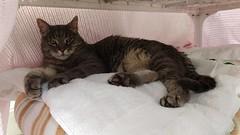 Charlie (~ MCJ) Tags: charlie cat greybluecreamtabby 10yo
