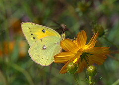 Giving Thanks! (KsCattails) Tags: butterfly coreopsis d7000 fall flower insect kscattails nikon orangesulphur sulphur thanksgiving