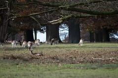 DSC_2513 (timmie_winch) Tags: timwinchphotography helmingham helminghamhalldeer helminghamhall helminghamdeer deer roedeer reddeer fallowdeer nikon d300 nikond300 50400mm sigma50400mmlens sigma wildlife wild wildlifephotographer wildlifephotography 2016 november november2016