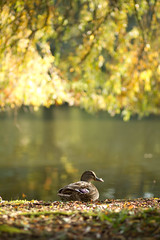 Autumn duck (itspaulkelly) Tags: duck lake autumn universityofyork campus york 85mm bokeh light