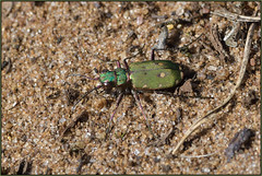 Green Tiger Beetle (Full Moon Images) Tags: rspb sandy lodge thelodge wildlife nature reserve bedfordshire insect green tiger beetle