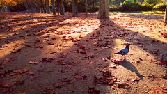 Today I was not alone (esther gc) Tags: birds autumn autumncolors coloresdeotoo otoo parque paloma pigeon parc tortosa