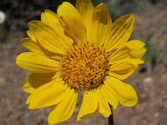 cutleaf balsamroot, Balsamorhiza hookeri (Jim Morefield) Tags: douglascounty nevada unitedstates asteraceae sunflowerfamily balsamorhiza balsamorhizahookeri wfgna flora wildflower wildflowers angiosperm dicot plant flowers flower blossom bloom cutleafbalsamroot geophyte steppe sierranevada carsonvalley spring humboldttoiyabenationalforest toiyabenationalforest greatbasin pattern organicpattern eswild olympus evolt e510 olympuse510 jdm20160579 taxonomy:family=asteraceae taxonomy:genus=balsamorhiza taxonomy:binomial=balsamorhizahookeri taxonomy:common=cutleafbalsamroot geo:alt=1605m yellow orange 5petals manypetals roundcluster