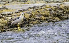 Bihoreau gris (yveshebert) Tags: birds bihoreau oiseaux oiseauxduquébec outaouais ottawariver gatineau