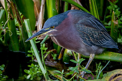 1 reminiscing Florida 2016: roly poly form of the green heron (robertskirk1) Tags: nature wildlife animal bird little green heron greencay wetlands florida fl