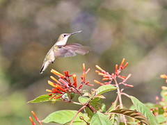 Ruby-throated Hummingbird 02-20161204 (Kenneth Cole Schneider) Tags: florida miramar westbrowardwca