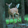 Whitetail Fawn  8-26-15 (Cal-Photo) Tags: tennessee deer fawn whitetail rockislandstatepark middletennessee