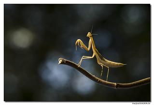 Mantis Religiosa - Mante Religieuse #2