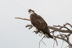 Posing female Osprey