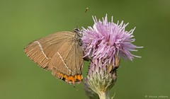 White-Letter Hairstreak (KHR Images) Tags: macro nature butterfly woods nikon wildlife thistle cambridgeshire satyriumwalbum d7100 whiteletterhairstreak bedfordpurlieus 1050mmf28 kevinrobson khrimages