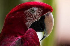 Green Wing Macaw (trinstanprep) Tags: red beautiful canon hawaii hotel colorful parrot grand lobby kauai hyatt macaw tamron greenwingedmacaw 600mm