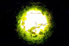 Wein wchst um Lampe (Jan Wasmund) Tags: light green lamp night dark lights lampe licht leaf bright wine pentax nacht hell fisheye grn blatt bltter dunkel wein nachts k50 bewachsen fischauge wachsen pentaxdafisheye1017mm umwachsen