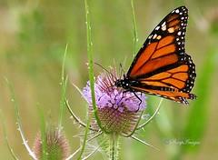 Monarch Butterfly (sh10453) Tags: usa michigan crosswindsmarshconservatory