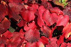 Red - The colour of Autumn (Heaven`s Gate (John)) Tags: autumn red england macro fall nature leaves closeup botanical seasons broadway cotswolds thecotswolds 100faves 200faves johndalkin heavensgatejohn 300faves