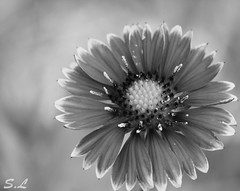 """Every flower is a soul blossoming in nature."" (CalamityEno) Tags: flower blancoynegro fleur monochrome noiretblanc flor wb nb biancoenero whiteandblack"