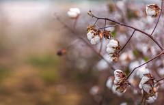 Tennessee Cotton (Elizabeth_211) Tags: plant field bokeh farm tennessee cotton 135mm 6d jacksontn westtn sherielizabeth