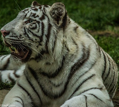 Panthera tigris tigris_Tigre bianca del bengala (tinellifabio) Tags: canon felino gatto tigre animale attesa carnivoro denti espressione 600d animaledomestico mammifero pantheratigristigris tigrebianca 55250 grandefelino