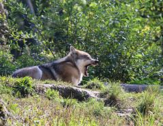 Loup gris (loudz57220) Tags: nature animals canon wildlife tamron mammals mammifre timberwolf greywolf canislupus 70d loupgris 150600