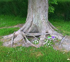 Never let go of your roots!! (The Stig 2009) Tags: tree roots hugs rope tie down thestig2009 thestig stig 2009 2016 tony o tonyo flowers grass iom isleofman apple iphone 6s nature