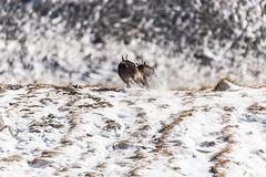 _15B2229-Modifica (gabrielecristiani) Tags: neve luoghi sequenza camoscio mammiferi altreparolechiave passomastrelle