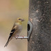 IMG_7665.jpg American Goldfinch, Peace Valley