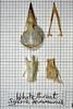 Whitethroat (JRochester) Tags: skeleton skull bones bone sylvia communis pelvis sternum mandible whitethroat