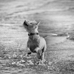 A spring in his step (adrian.sadlier) Tags: dog kite beach water westie buddy kitesurfing westhighlandwhiteterrier bullisland