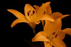 (Edita Ruzgas. Thanks for your visit.) Tags: yellow nikon lillies orrange