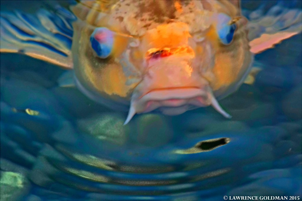 The world 39 s best photos of fish and koipond flickr hive mind for Koi fish head