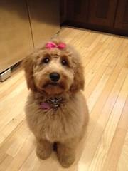 sophie-freshly-groomed-at-6-months_16451714068_o