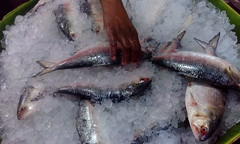 Hilsa Fish (RiddhoRaju) Tags: portrait fish shop market bongo progress business fishmarket bengal bangladesh bangla prosperity bengali shopkeeper htc bangladeshi bangali fishseller ilish hilsa clupeidae jessore anawesomeshot thefishmonger hilsha photoghrapy fishphotography catchthedream fishbusiness tenualosailisha jessorebangladesh rajudey riddhoraju মাছব্যবসায়ী fishmarketjessore jessorekhulnabangladesh মাছবাজার মাছবিক্রেতা riddhorajuphotography যশোরমাছবাজার যশোরখুলনাবাংলাদেশ