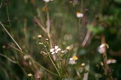Far Afield (Wayman P. Jones) Tags: nikon nikonf50 quantaray macro flowers dof depthoffield bokeh nature dreamlike dreamy filmphotography kodak kodakportra portra160 grain