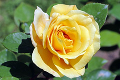 Maig_1363 (Joanbrebo) Tags: canoneos70d efs18135mmf3556is eosd autofocus 16èconcursinternacionalderosesnovesdebarcelona park parque parc parccervantes barcelona blumen blossom garden jardí jardín flores flors flowers fiori fleur canonflickraward mimamorflowers