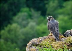 Faucon plerin (www.speleophoto.fr) Tags: nature oiseaux cureuil chardonneret fauconplerin sittelle tarin