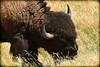 500_2879-2 (DianeBerky19) Tags: 2016 jacksonholewyoming summitnatureworkshop wy bison nikond500