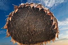Vecchio girasole (Enzo Ghignoni) Tags: cielo nuvole fiore semi azzurro girasole toscana italia secco macro