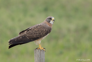 Another drive by Swainson's Hawk
