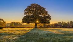 Forest Oak (nicklucas2) Tags: newforest tree oak sunlight autumn sun grass frost landscape